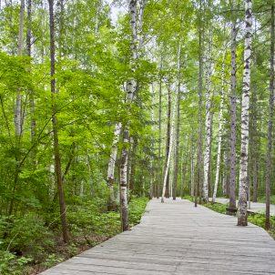 Pathway through birch forest